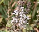 Perennialbasil